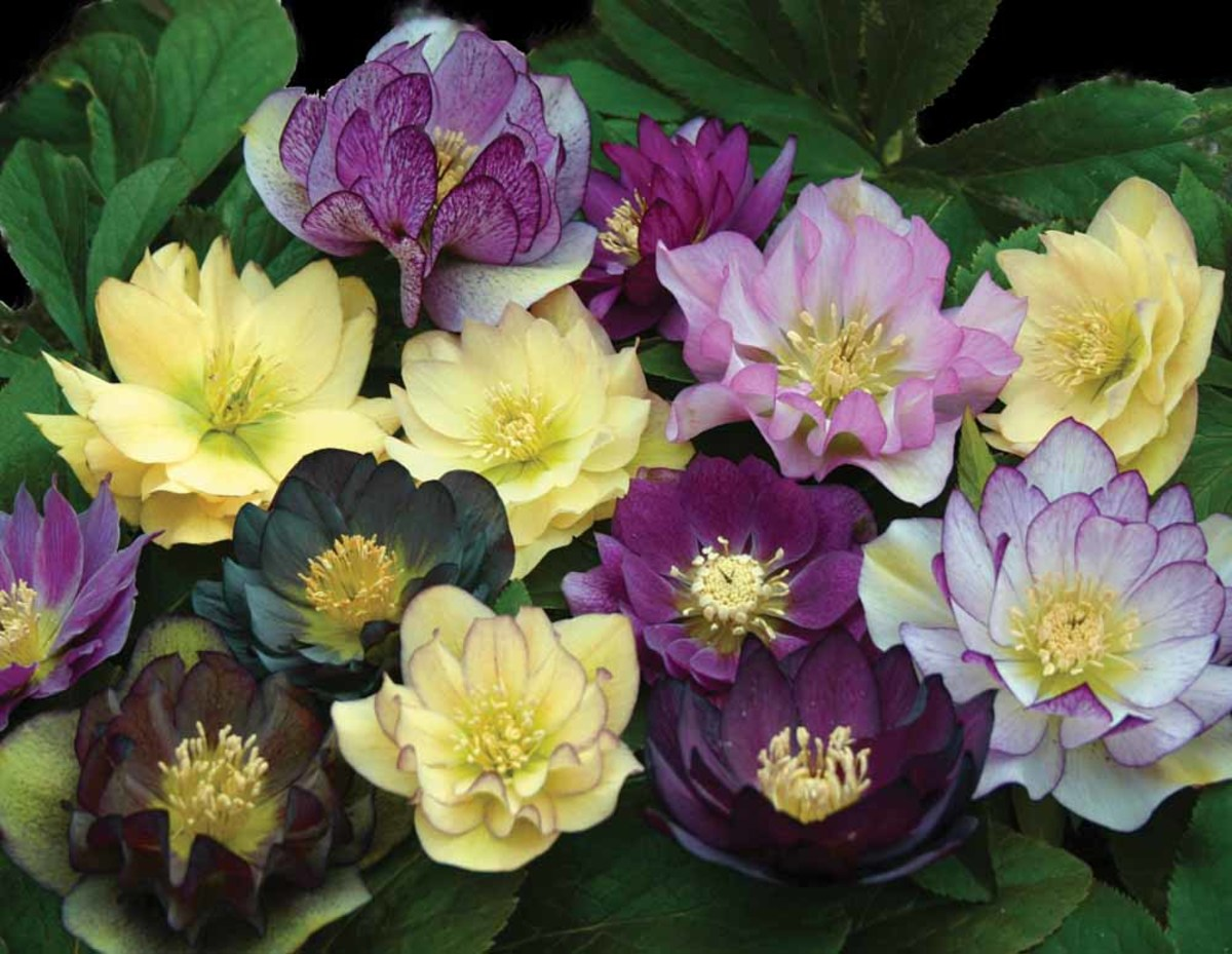 Winter-blooming Lenten roses. Although the flowers are gorgeous, the roots of all hellebores are strongly emetic (causing you to vomit) and can be fatal if ingested.