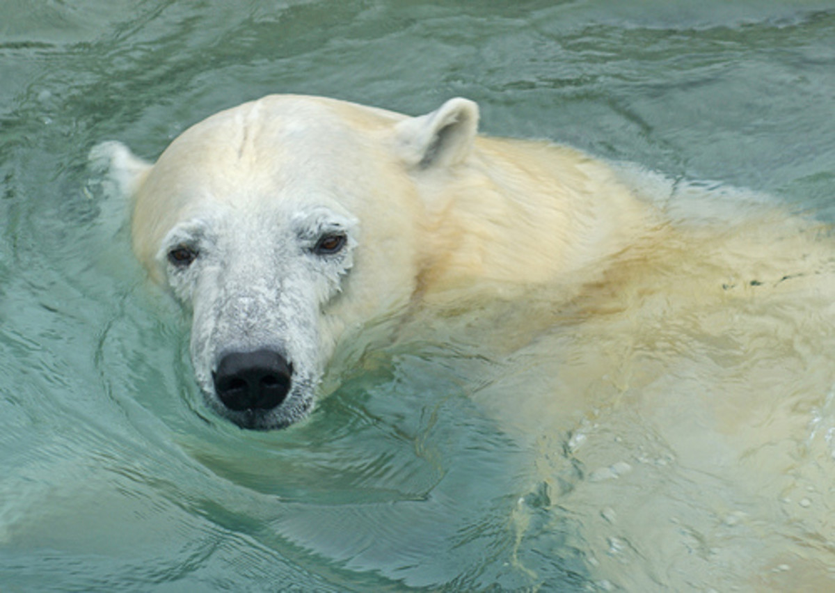Interesting Facts About Polar Bears | hubpages
