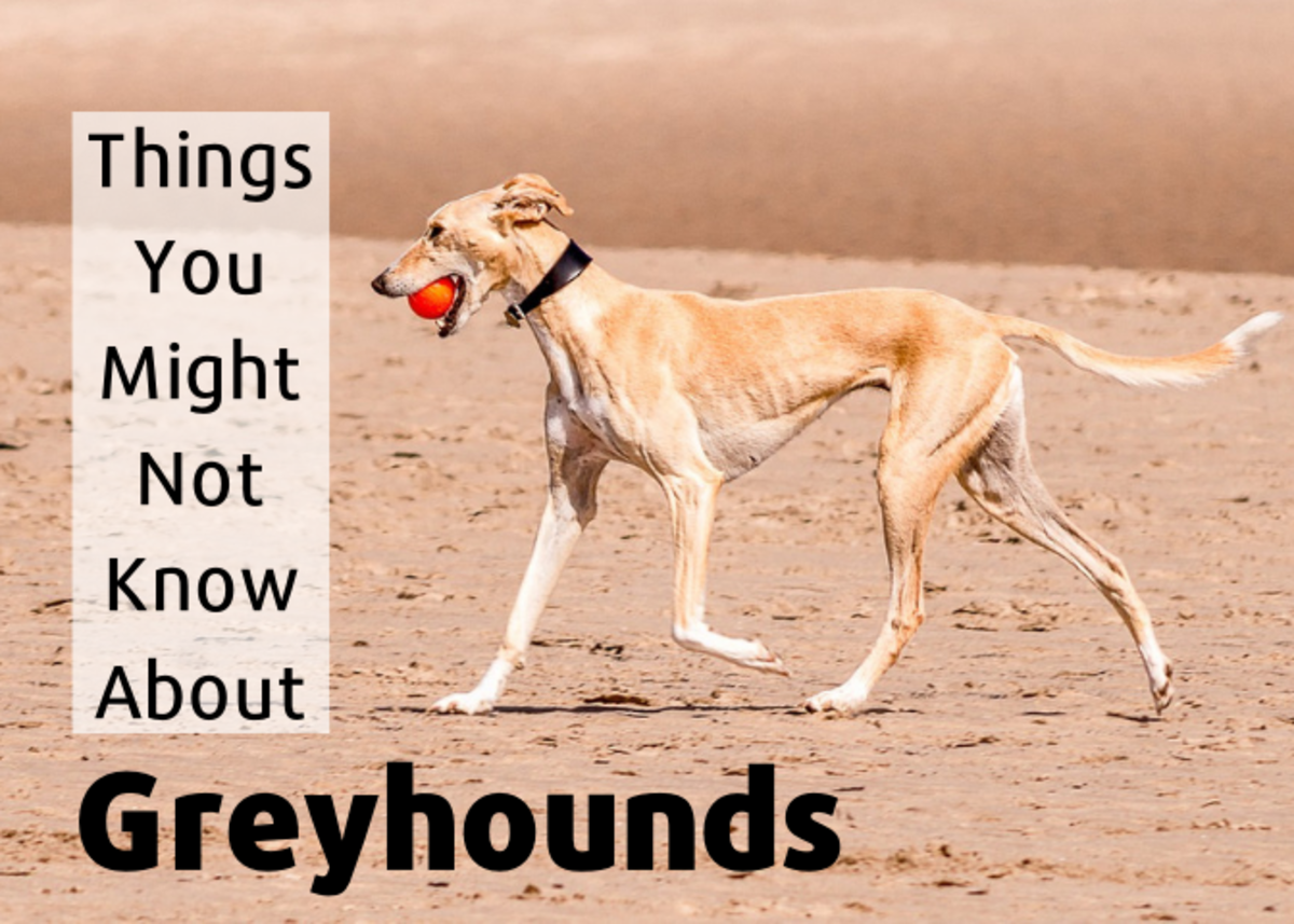 10 Interesting Facts About Greyhounds