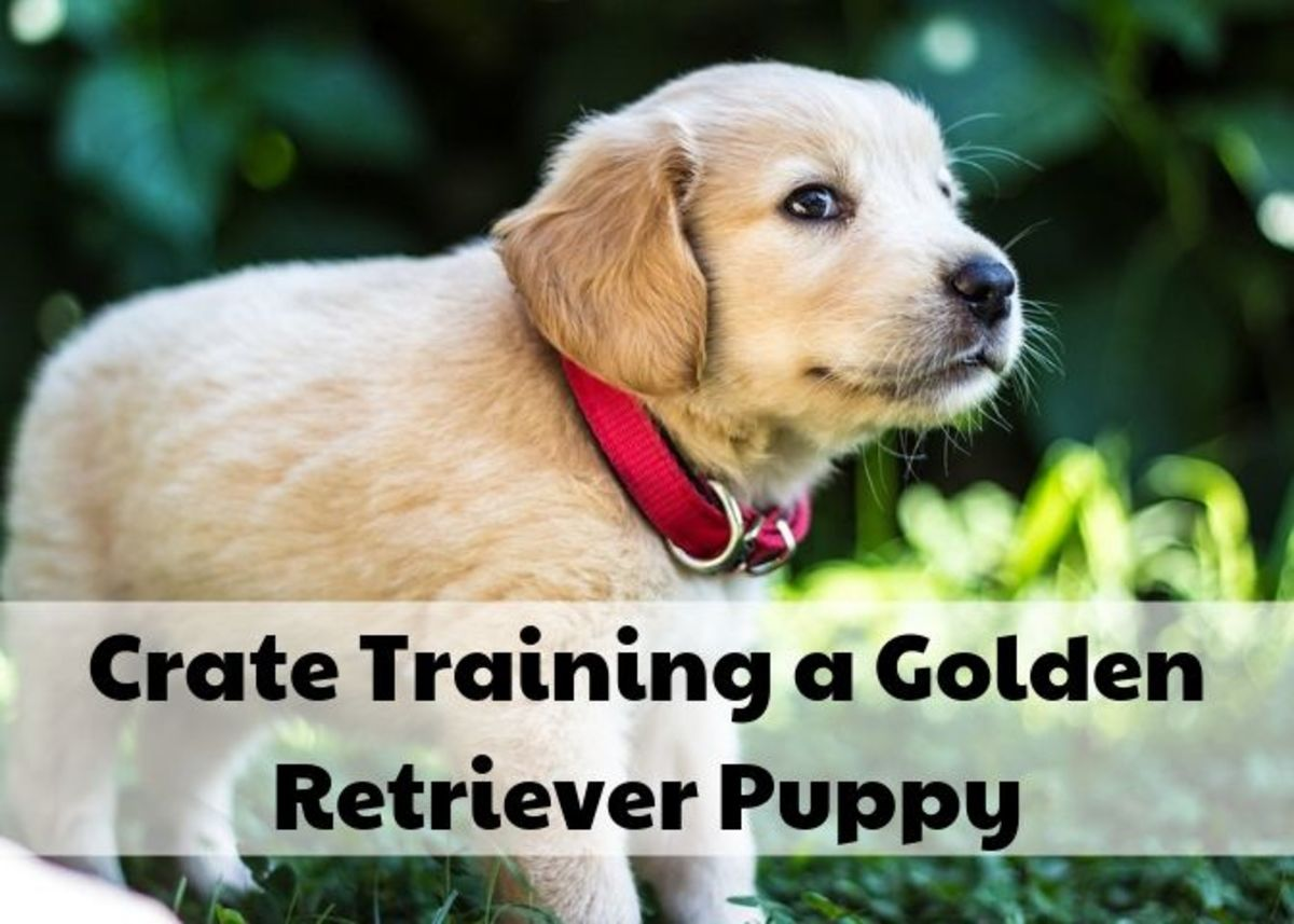 Golden Retrievers puppies are relatively easy to train, and your puppy should be reliably going potty outside within a month!