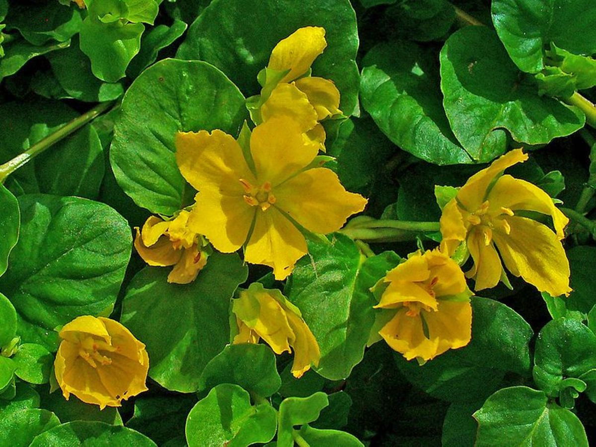 Golden creeping Jenny is also called moneywort. The 'Aurea' cultivar is an ideal ground cover for suppressing weeds.