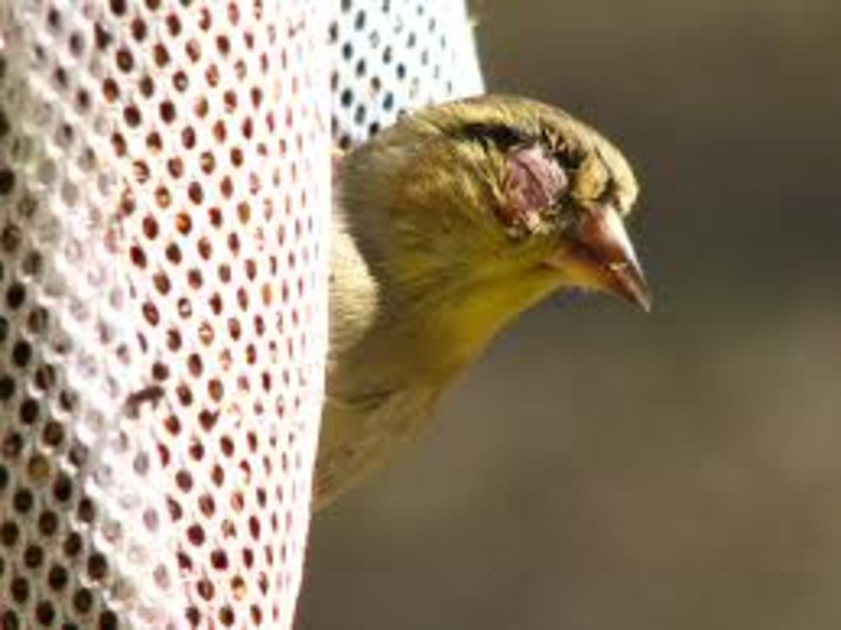 An American Goldfinch infected with conjunctivitis.
