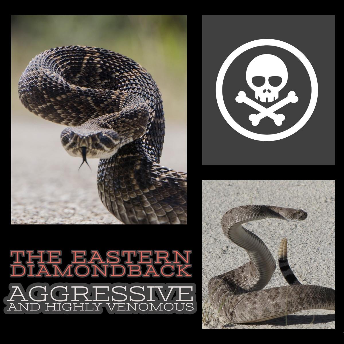 The Eastern Diamondback Rattlesnake: Aggressive and Highly Venomous.