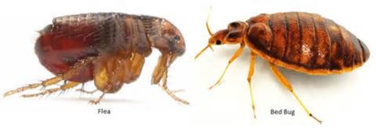 How to Tell Between Fleas and Bed Bugs | Detection, Prevention and Treatment