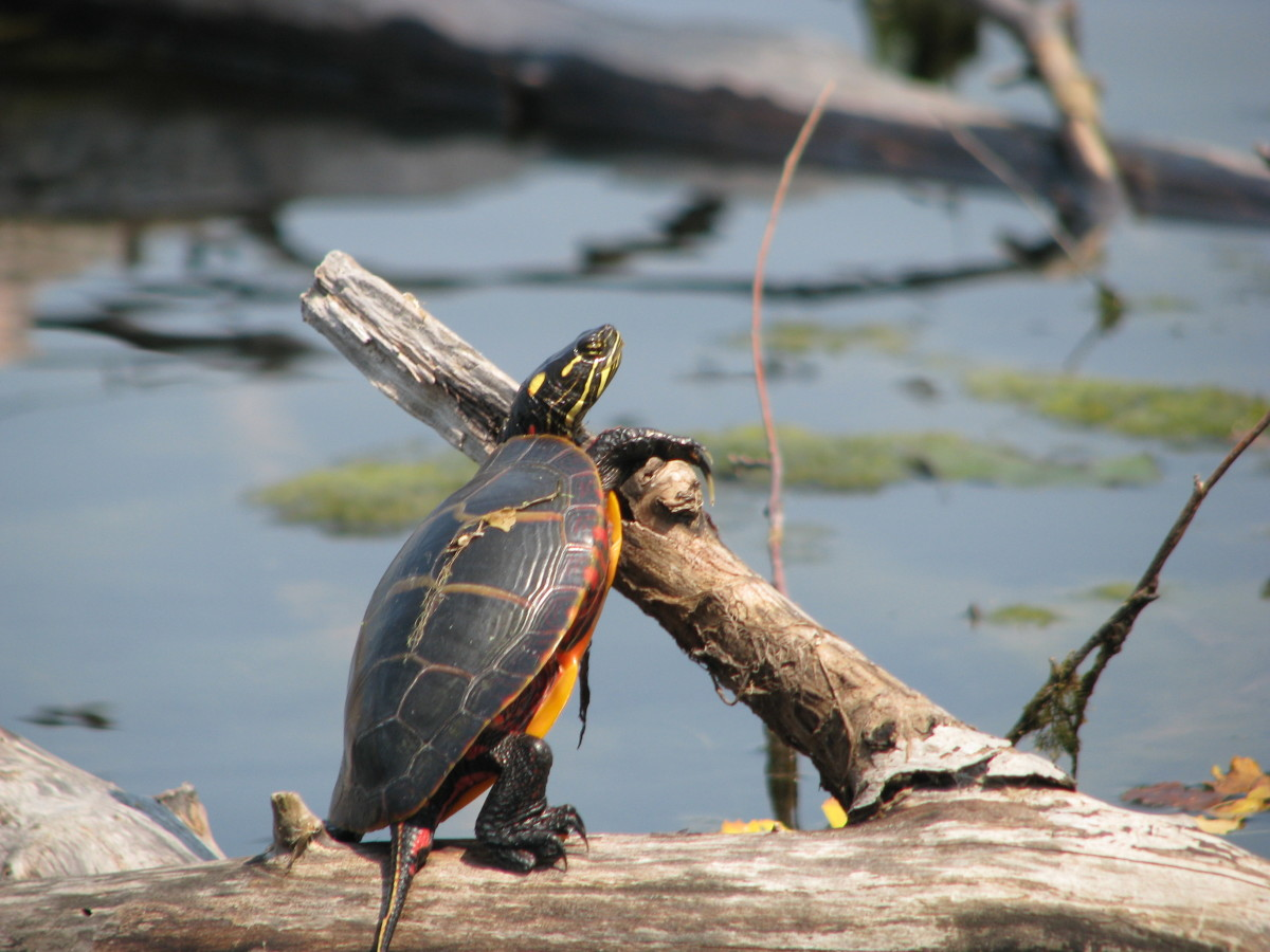 Wild vs  Pet Store Turtles: Should You Catch or Buy a Pet
