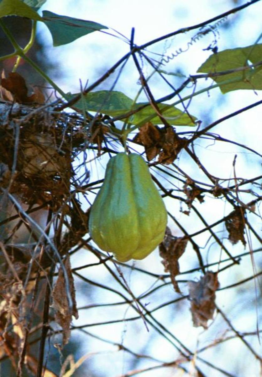 The mirliton is also known as the chayote or vegetable pear. This one's almost ready to pick.