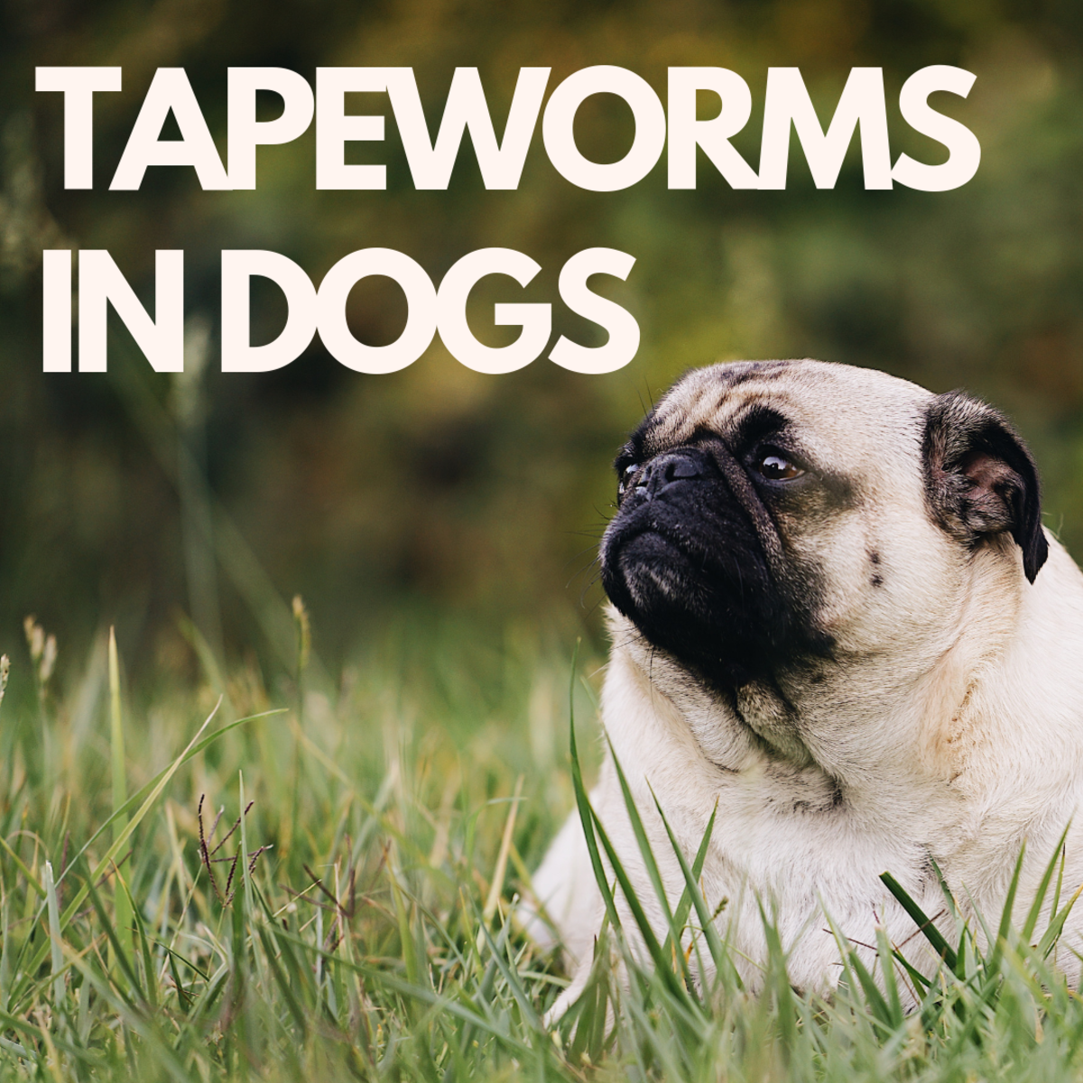 Dog Tapeworms: Causes, Symptoms, and Treatment