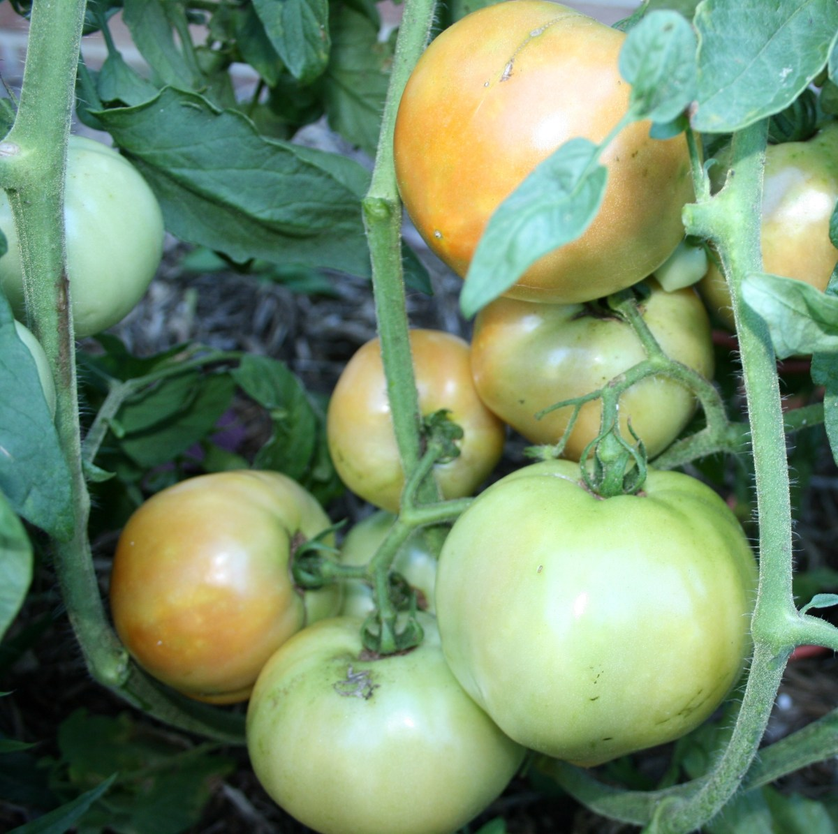 Large varieties of tomato plants can produce 8 pounds of fruit or more at one time.