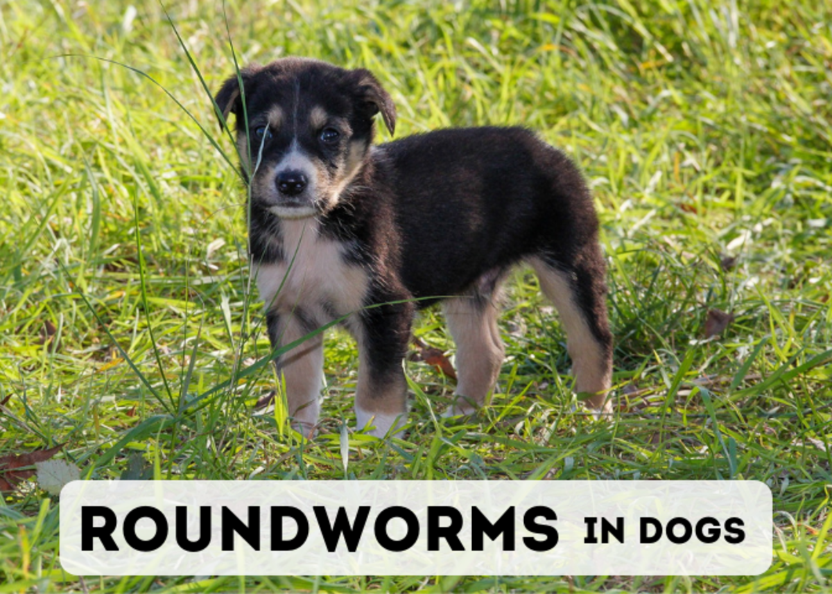 Learn about the species of roundworms that affect dogs, as well as the symptoms and treatment.