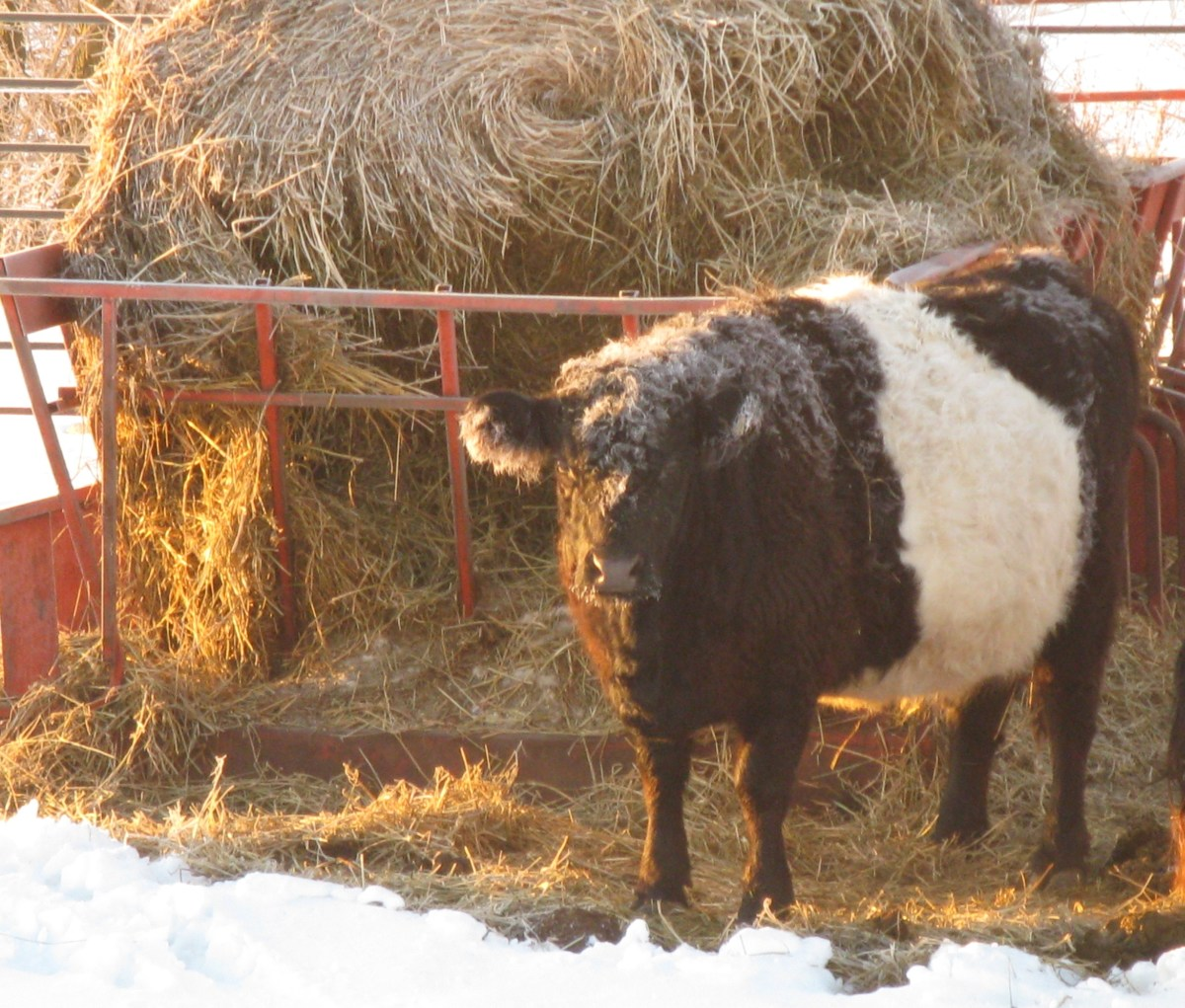 Belted Galloway cow on a frosty morning.