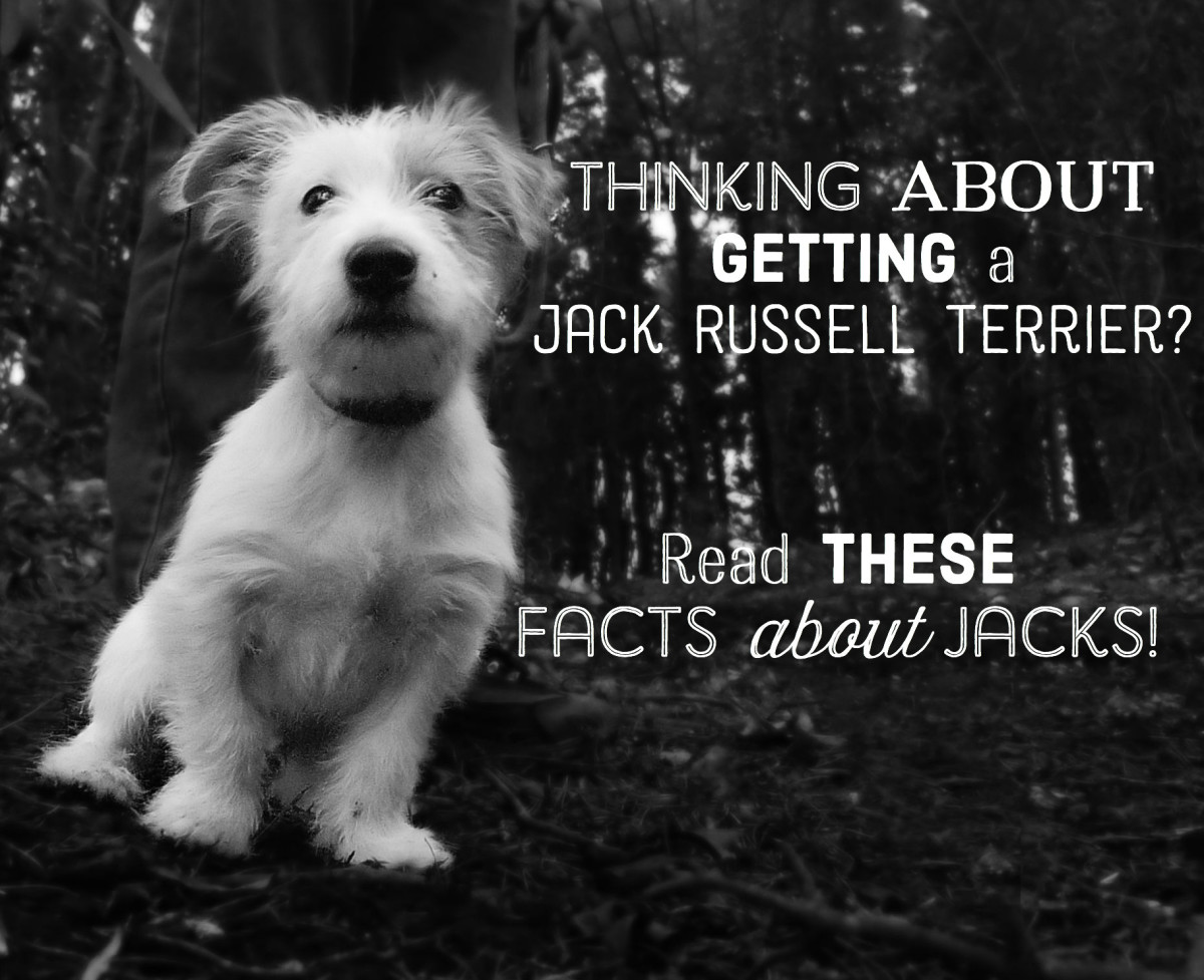Facts About Jacks: All About Jack Russell Terriers