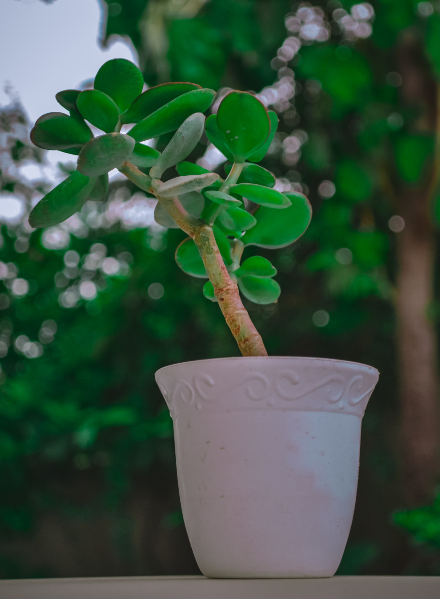 Essential Tips for How to Propagate a Jade Plant (Crassula Ovata) at Home