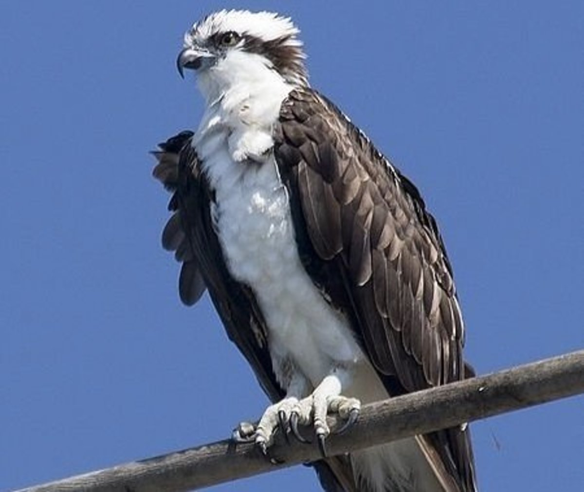 """The Osprey.  Aloof: Some might say """"proud""""?"""