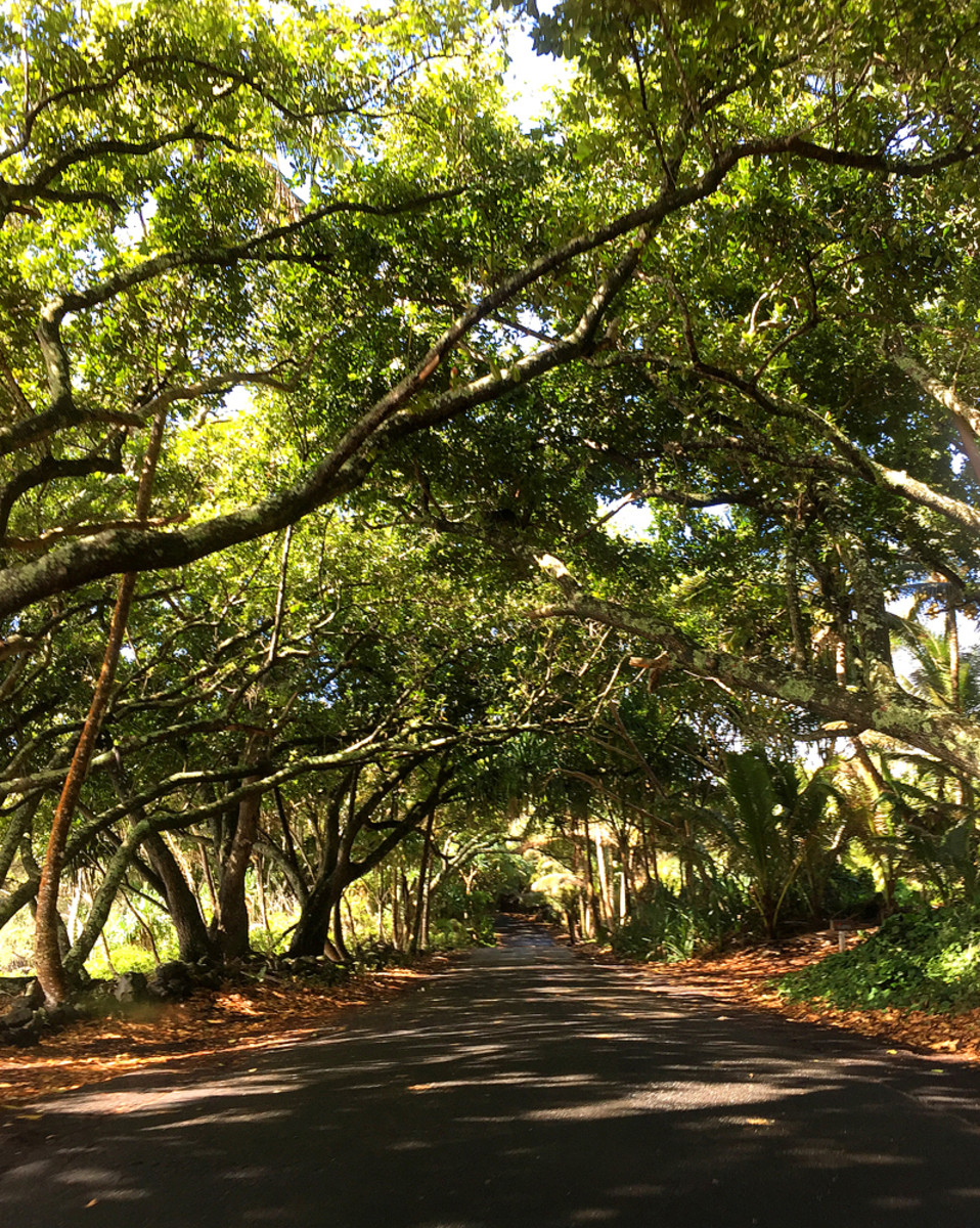 A magical tree tunnel to drive under!