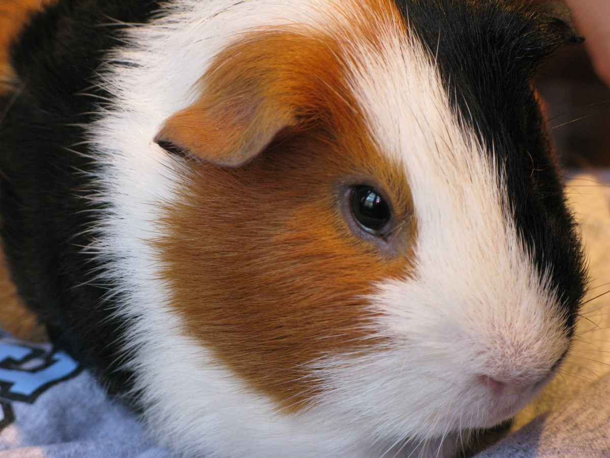 Foods That Guinea Pigs Should and Should Not Eat
