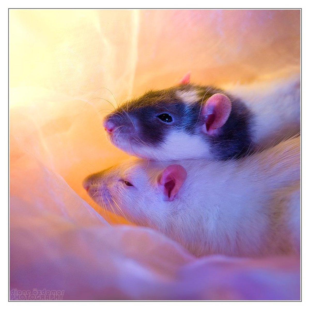Now That's a Rat of a Different Color: Fancy Rat Varieties