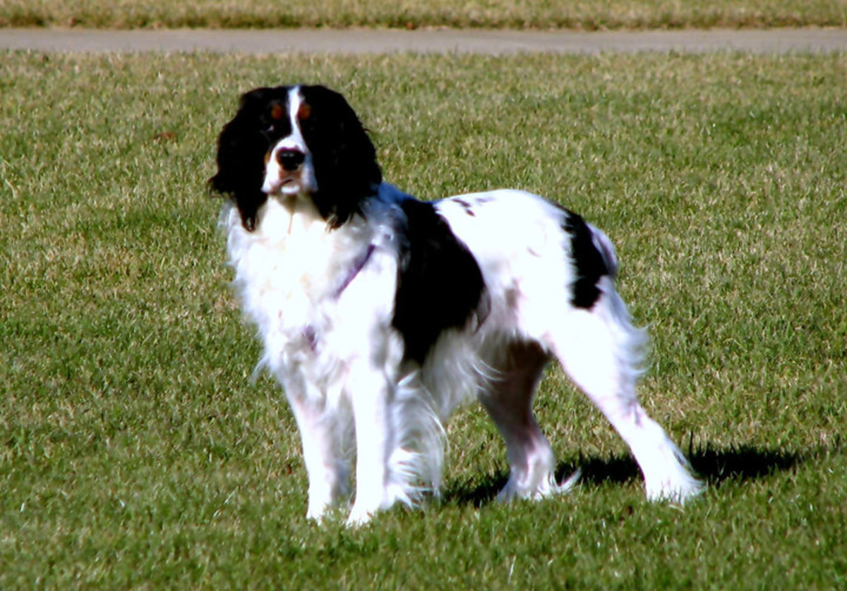 Abby was our Springer Spaniel. Sorry to say, she has passed over to the Rainbow Ridge.