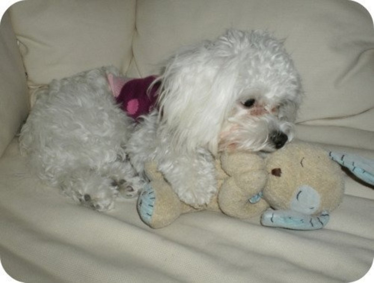 "Sugar Pie is a fashion statement at times. Here she snuggles with her favorite toy we call her ""baby""."