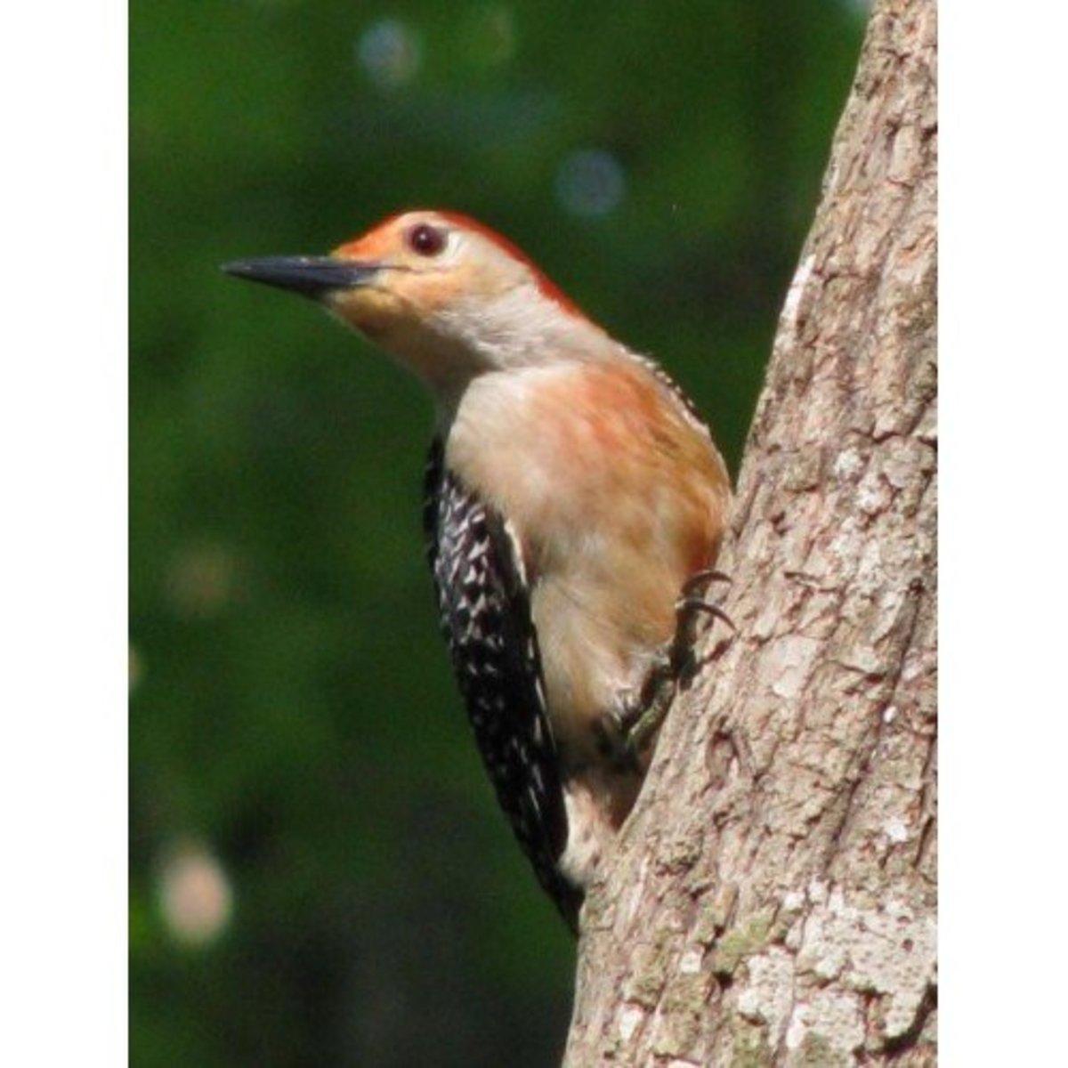 Male Red bellied woodpecker in our 9 acre habitat.