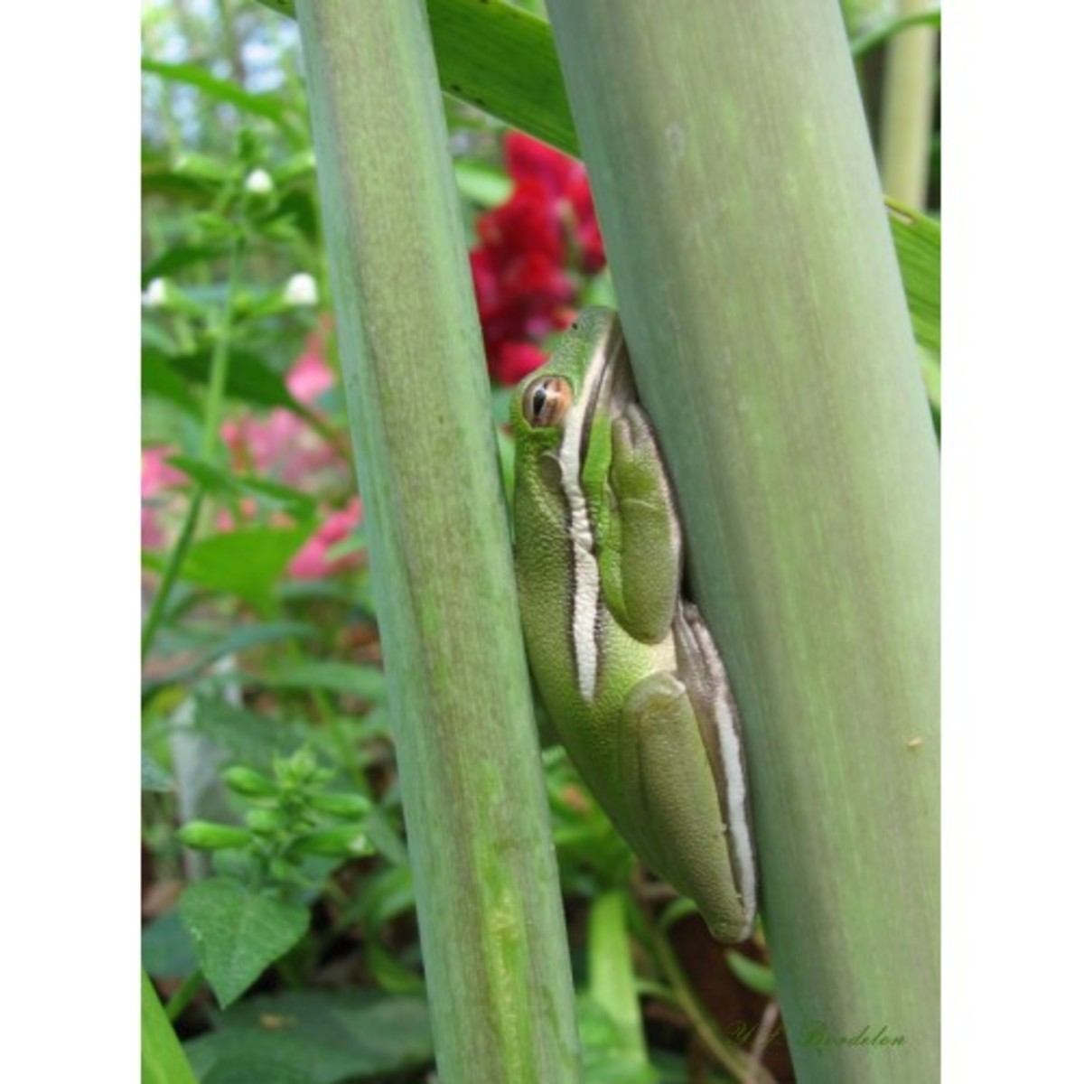 Green Tree Frog uses amaryllis stalks to hide.