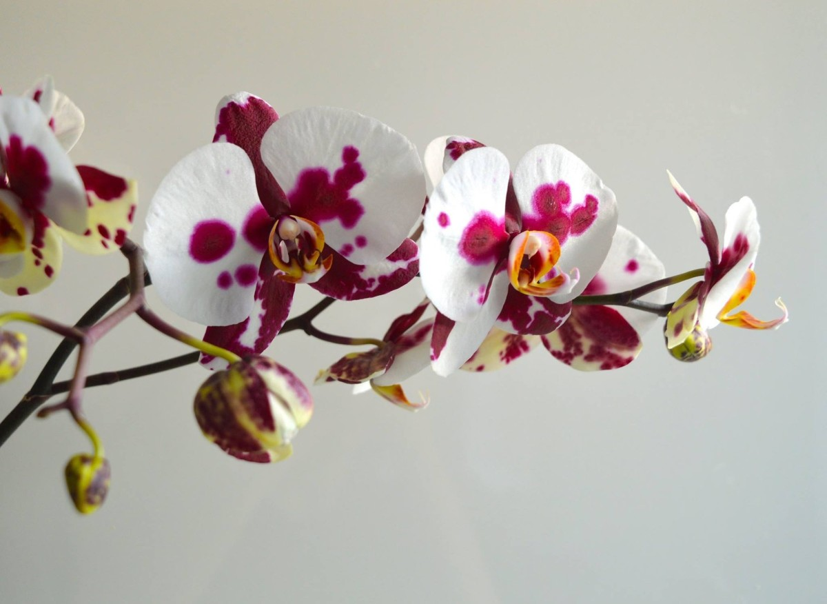 Basic Orchid Care How To Fix A Broken Orchid Stem Dengarden