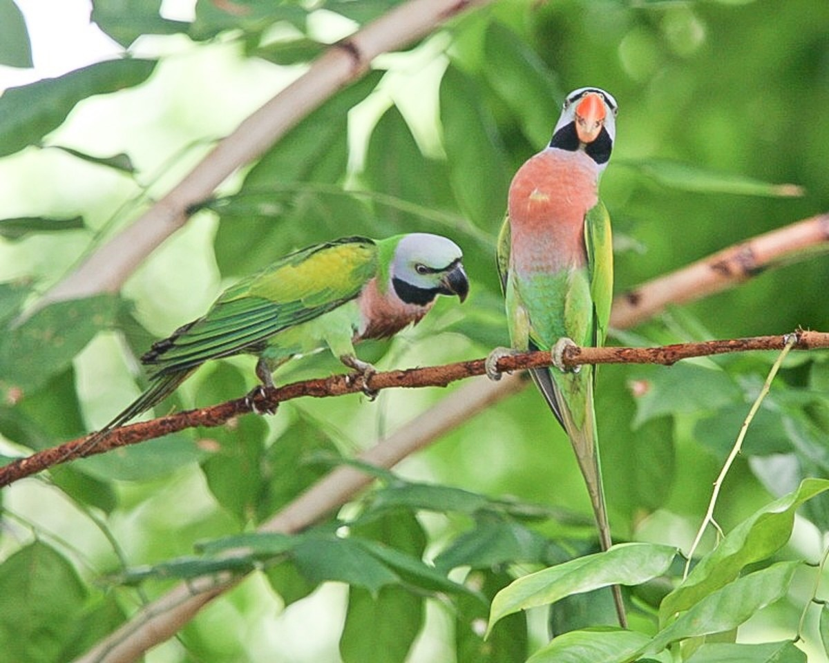 A pair of wild moustache parakeets during courtship; the female has a black beak while the male has an orange one.