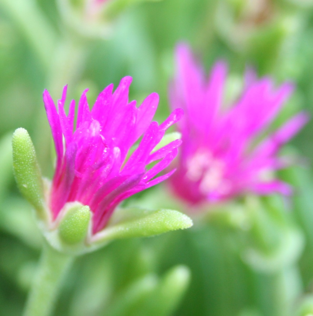 The flowers on the hardy purple ice plant open as the sun rises.