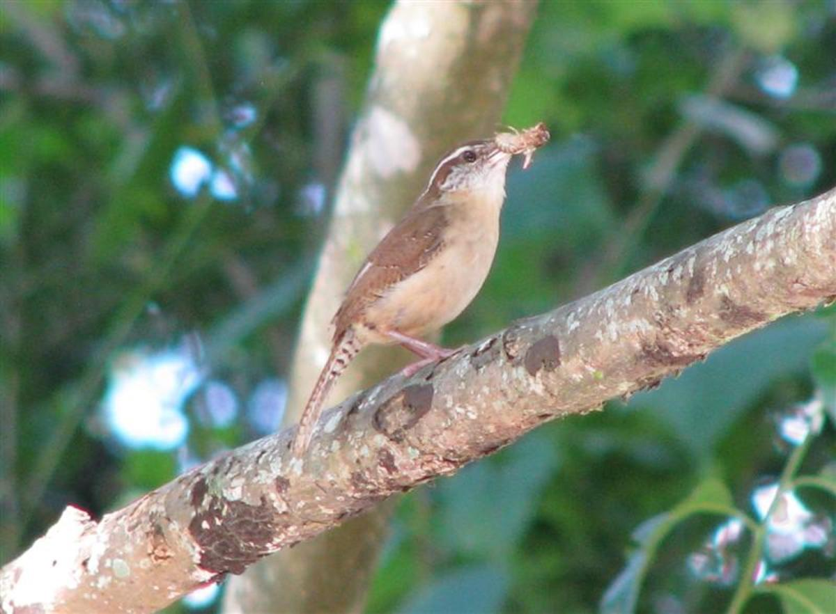 Carolina Wrens eat many insects that attack food crops.