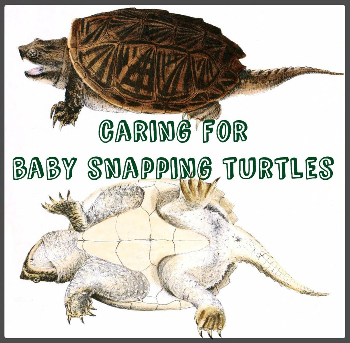 How to Care for Baby Snapping Turtles   PetHelpful