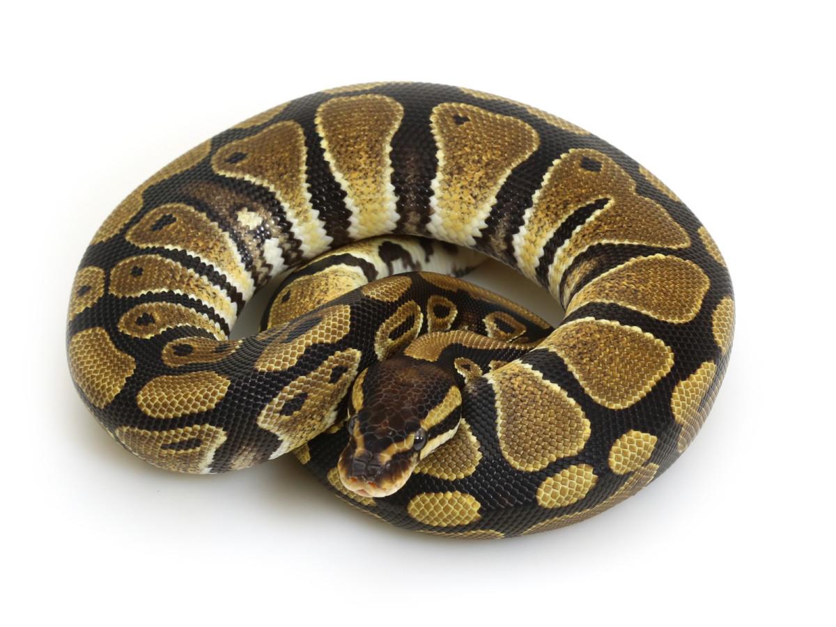 Normal Ball Python