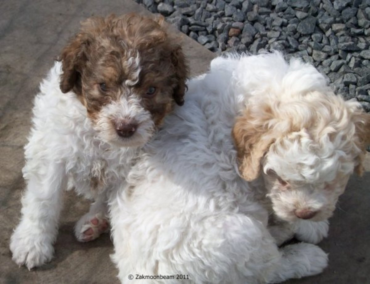 Unbelievably cute Lagotto Romagnolo puppies.