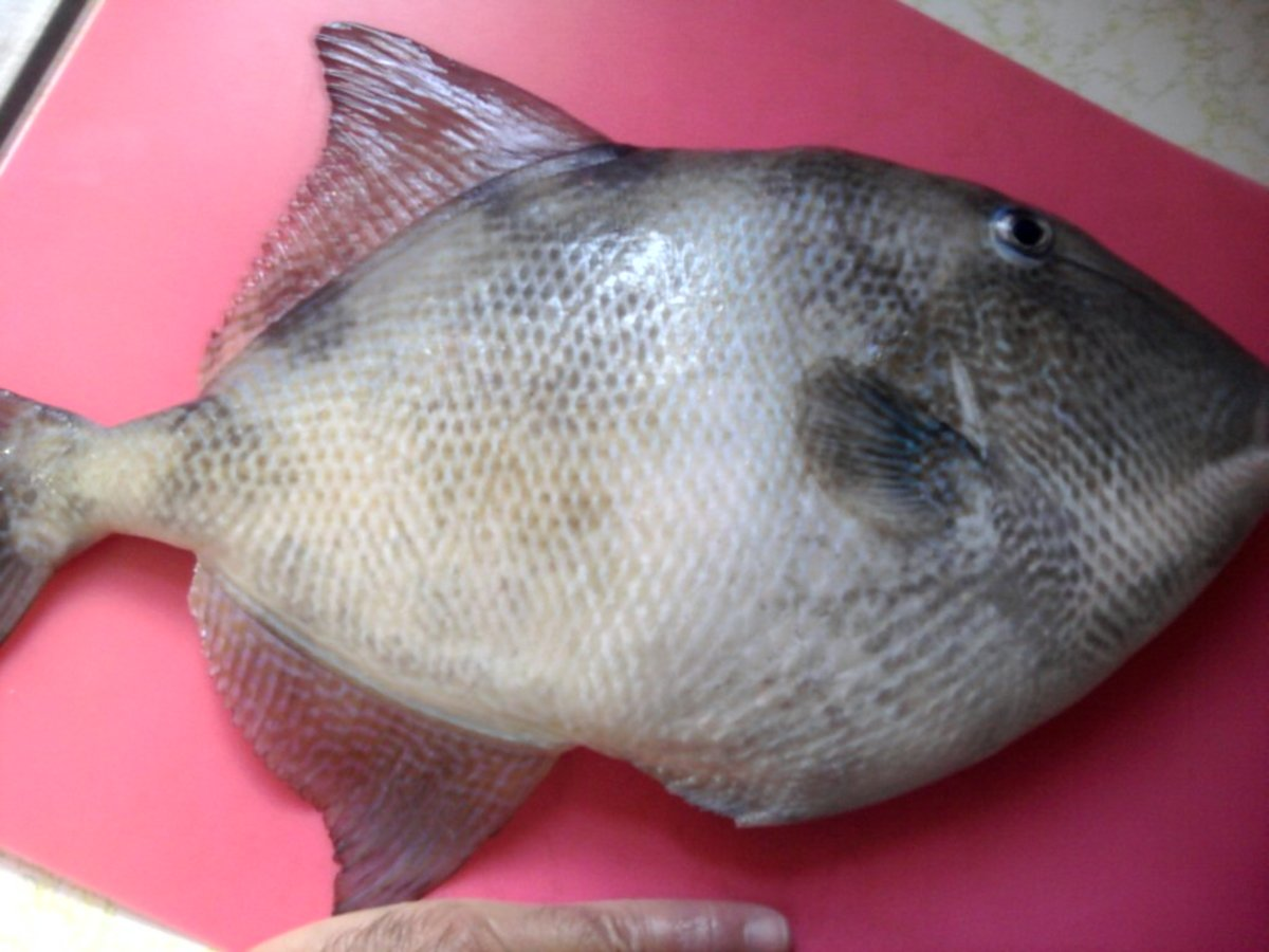 Catch Trigger Fish in The New Jersey Shore Bay