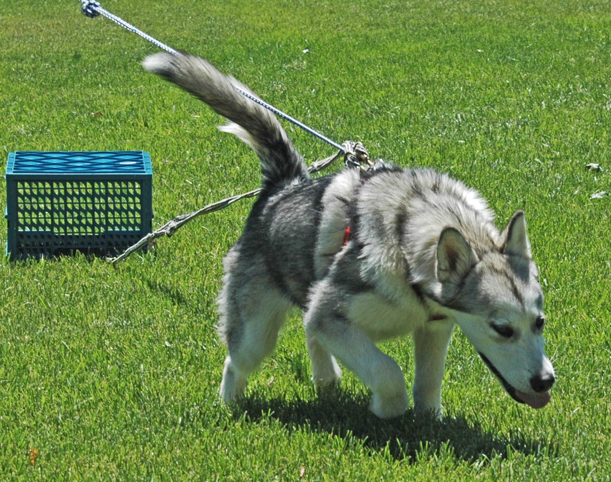 Alaskan Malamute Dogs Puppy Pull Training