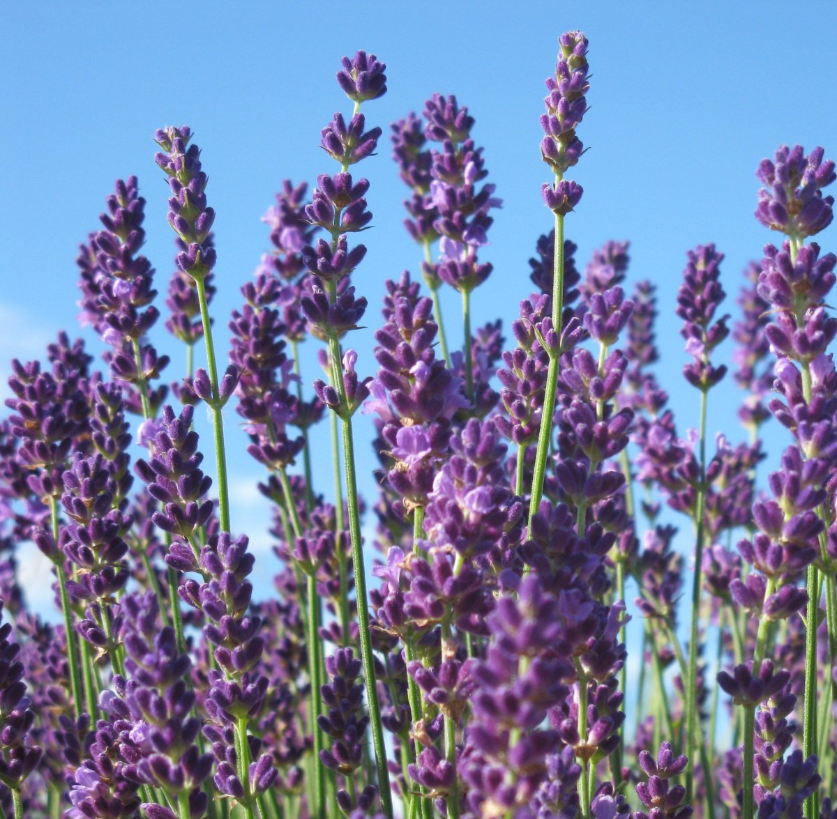 The Best French English Lavender Varieties To Grow In Zone 5