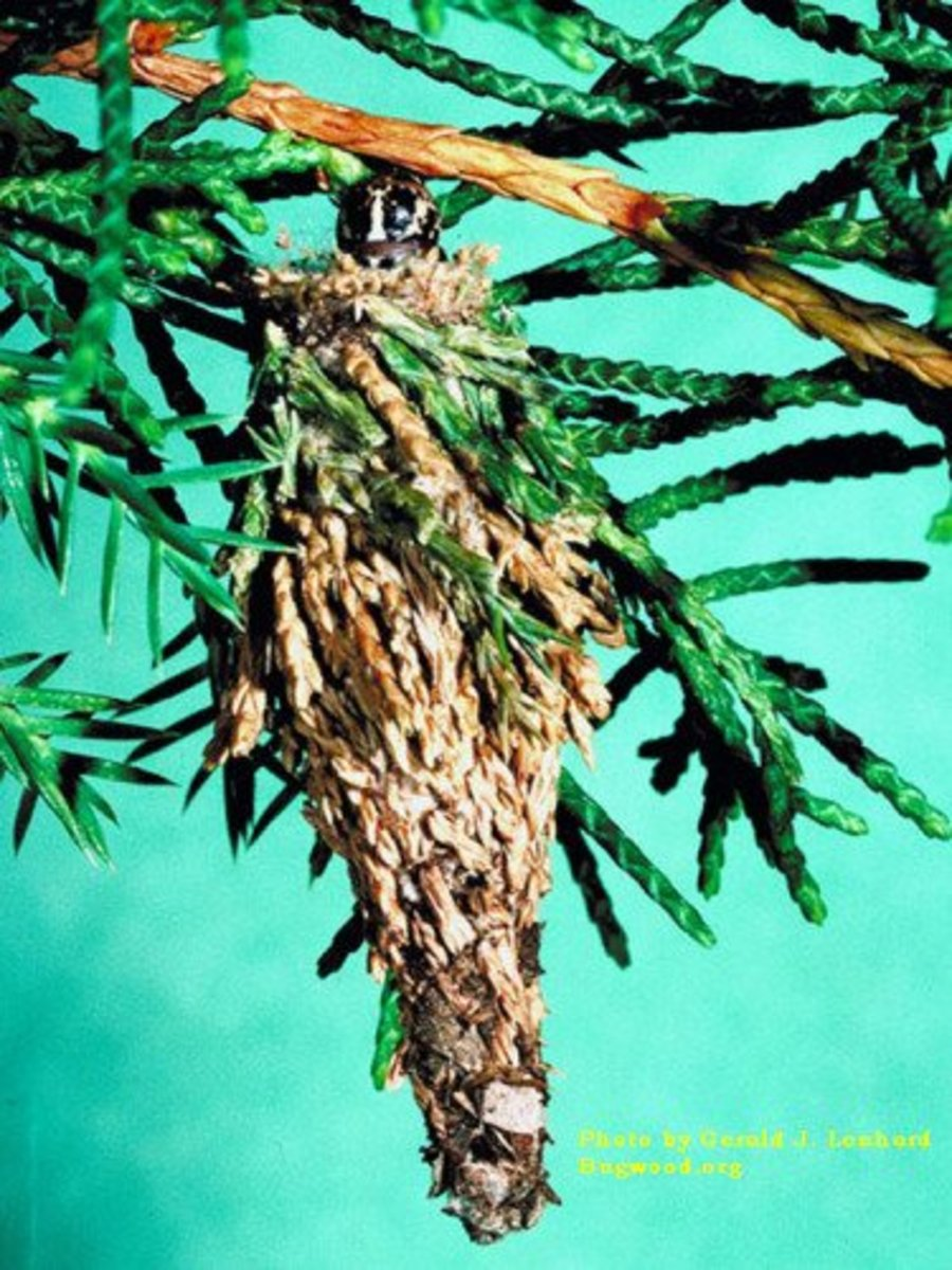 No, it's not a rustic Christmas tree ornament--it's a bagworm nest! And it can kill your conifers if left unchecked.