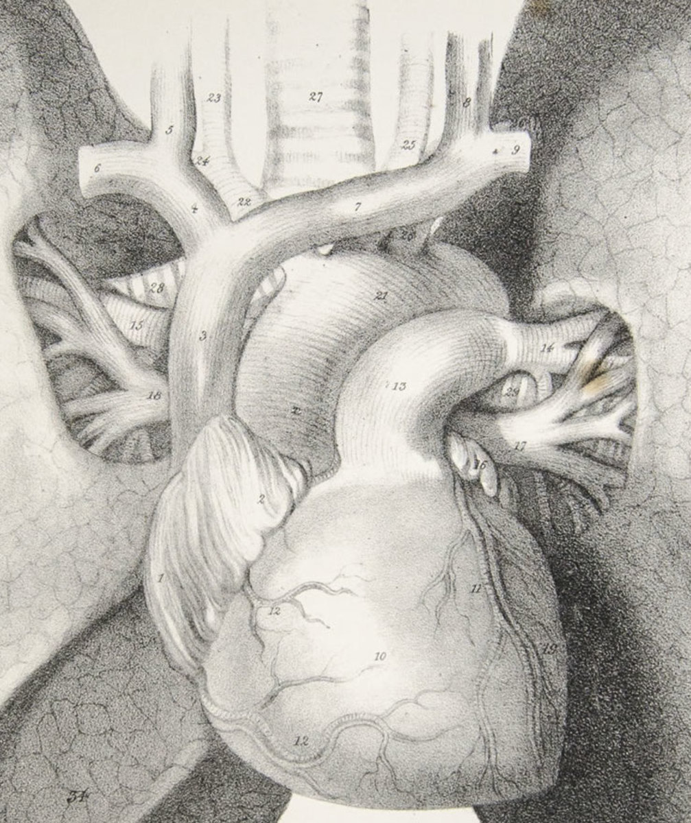 Anatomy of the Lungs and Heart (detail), Quain's Plates