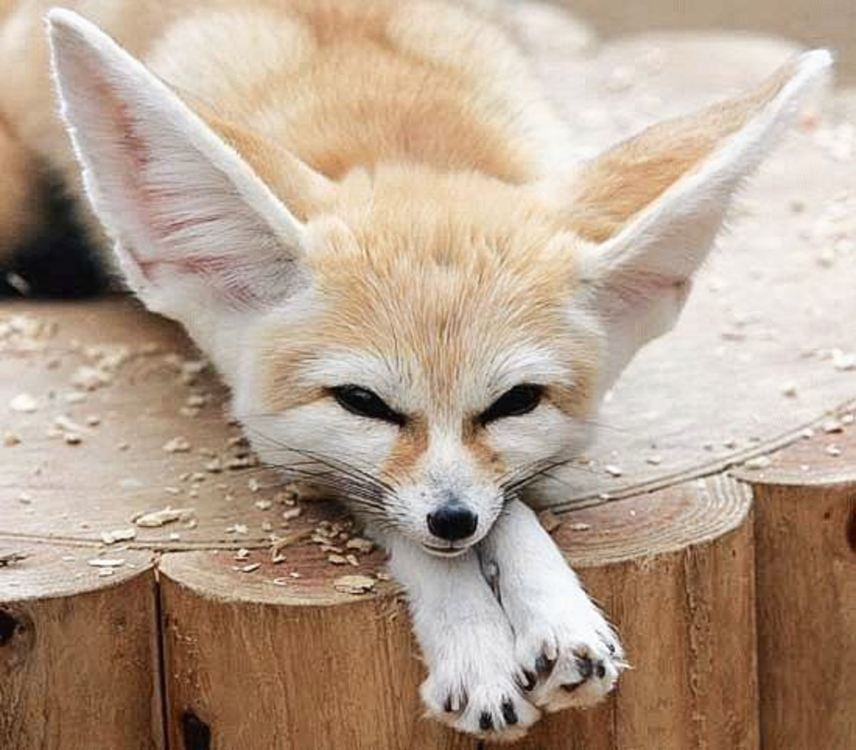 A fennec fox at the Cleveland Zoo
