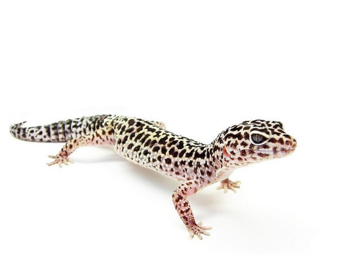 How to Care for Leopard Geckos: Housing, Diet, Natural History, and More
