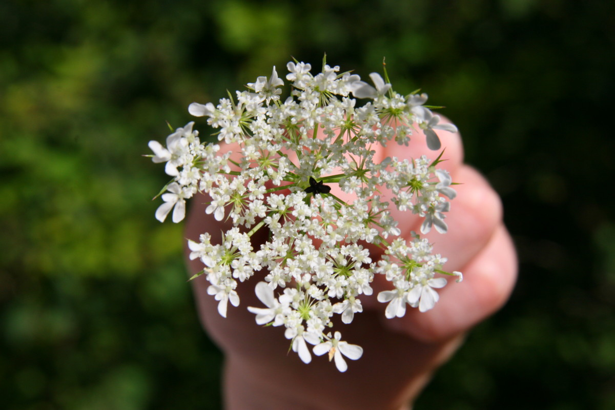 How to Identify Queen Anne's Lace (Wild Carrot)