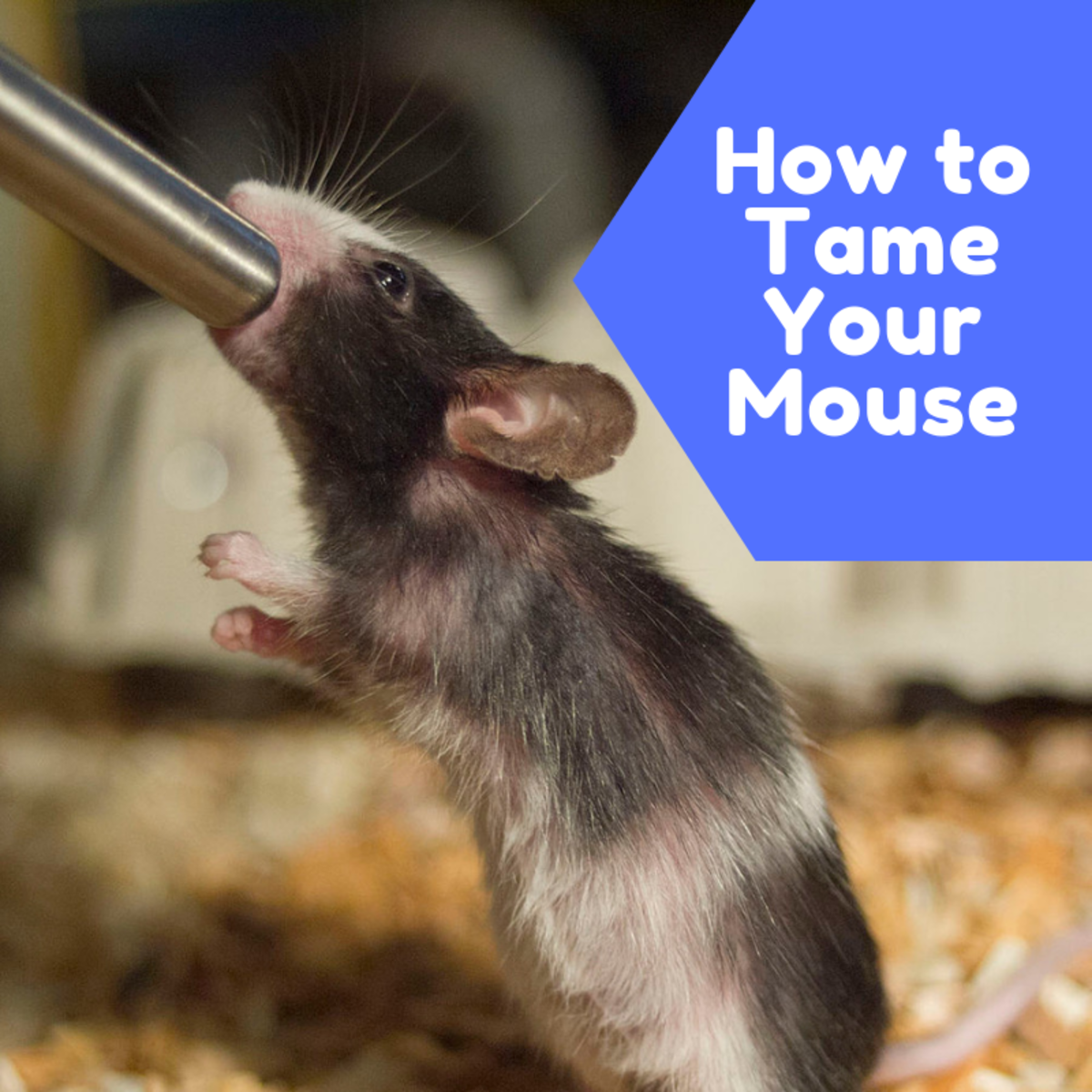 Mice are naturally skittish, but can be conditioned to expect and enjoy human companionship.