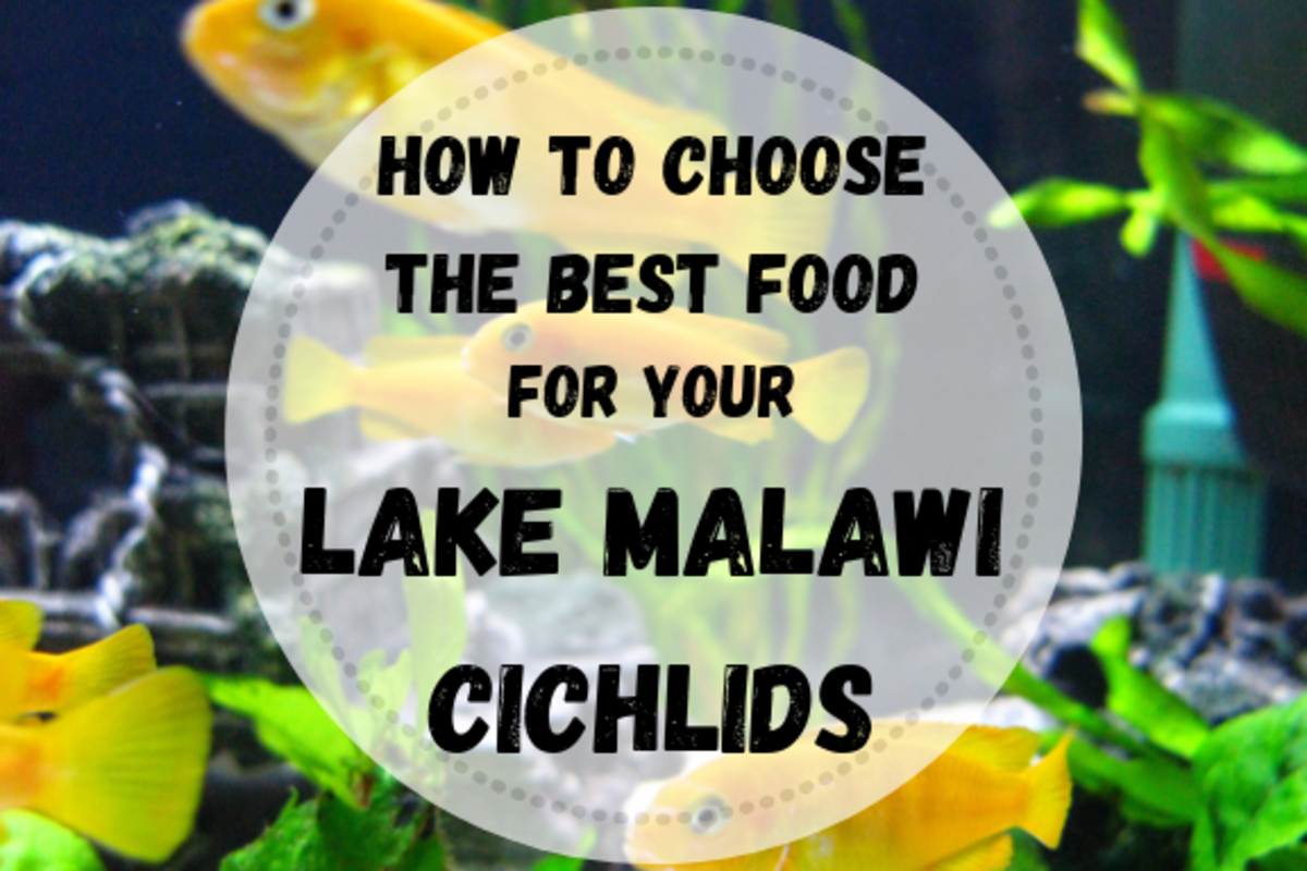 Learn what to consider when choosing a food, how to make your own food and how often you should feed your cichlids.