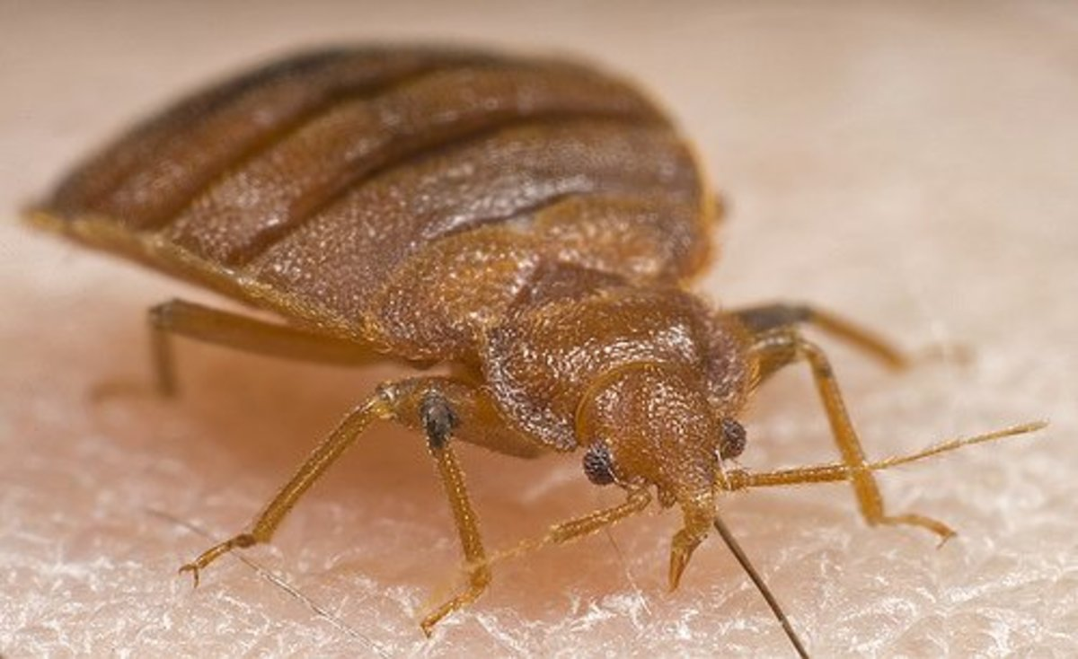 How to Check for Bed Bugs and Bed Bug Bites