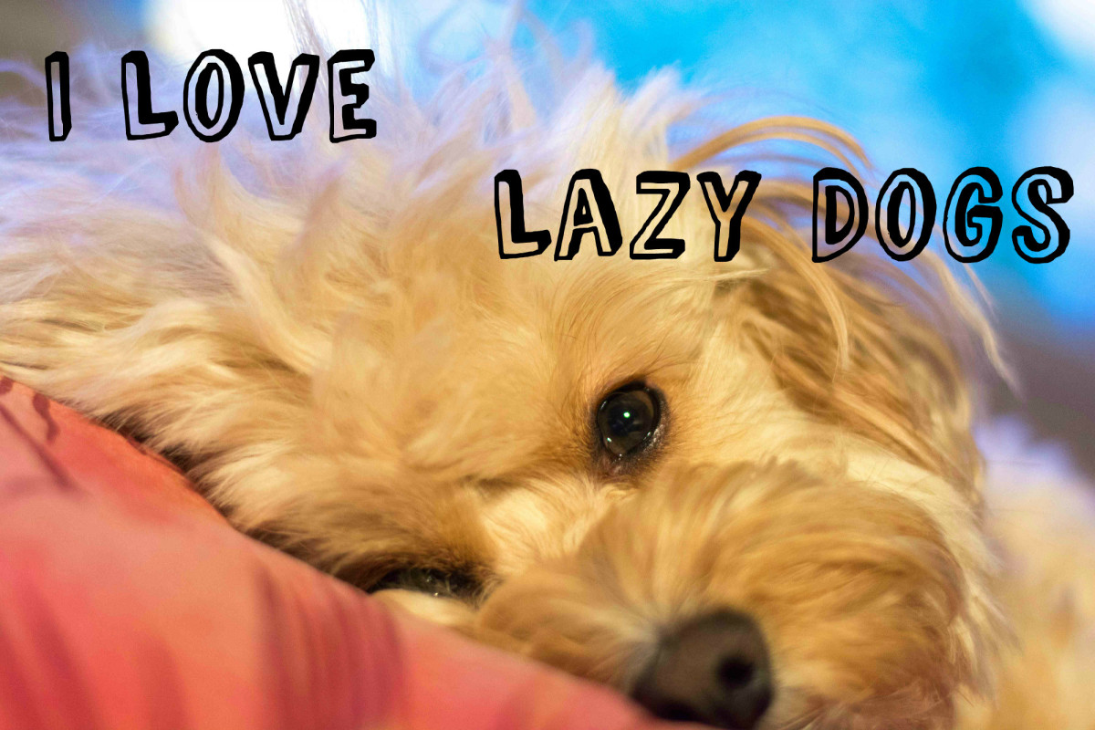 15 Lazy Dog Breeds (For Those Who Prefer Them!)