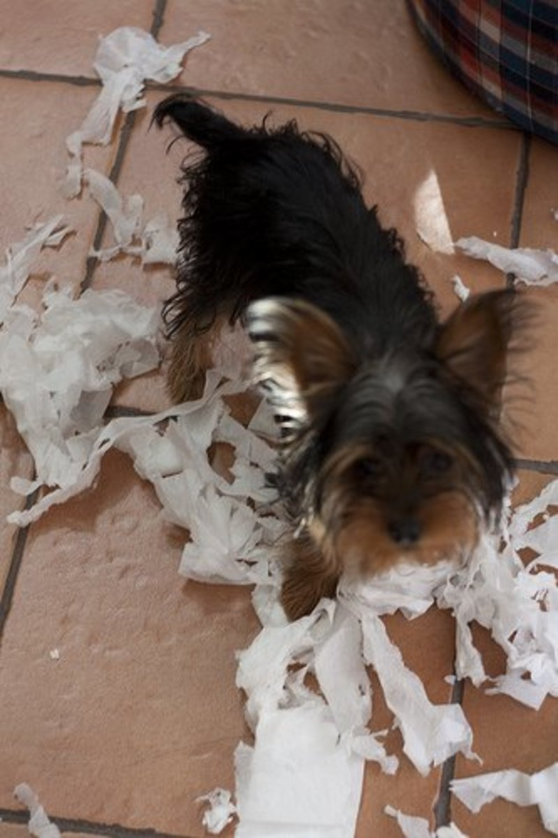 My Terrier Is Destructive: How to Stop a Terrier From Ripping Up Your Possessions