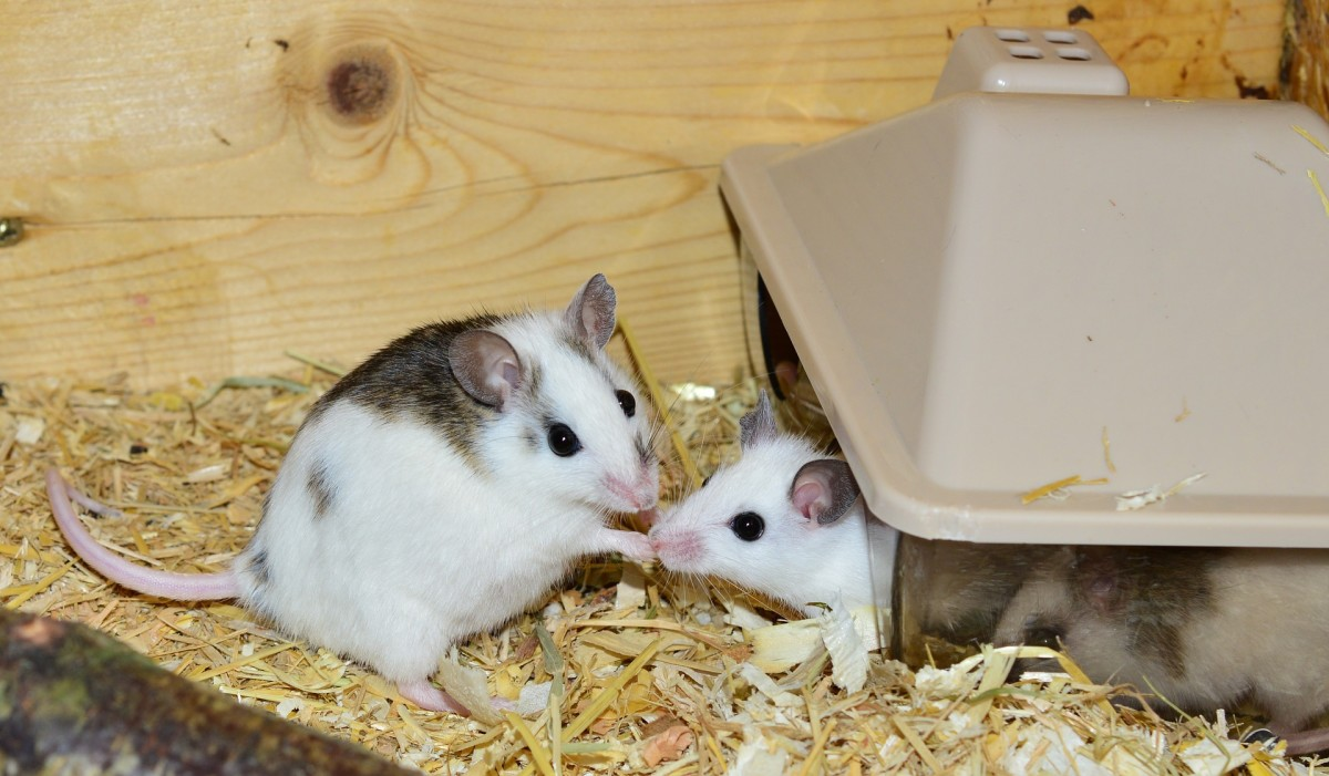 Can two (or more) mice live together happily?