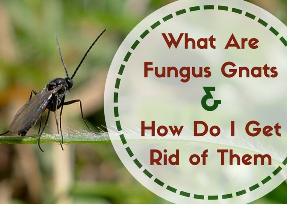 Fungus Gnats Where Do These Little Flying Bugs Come From