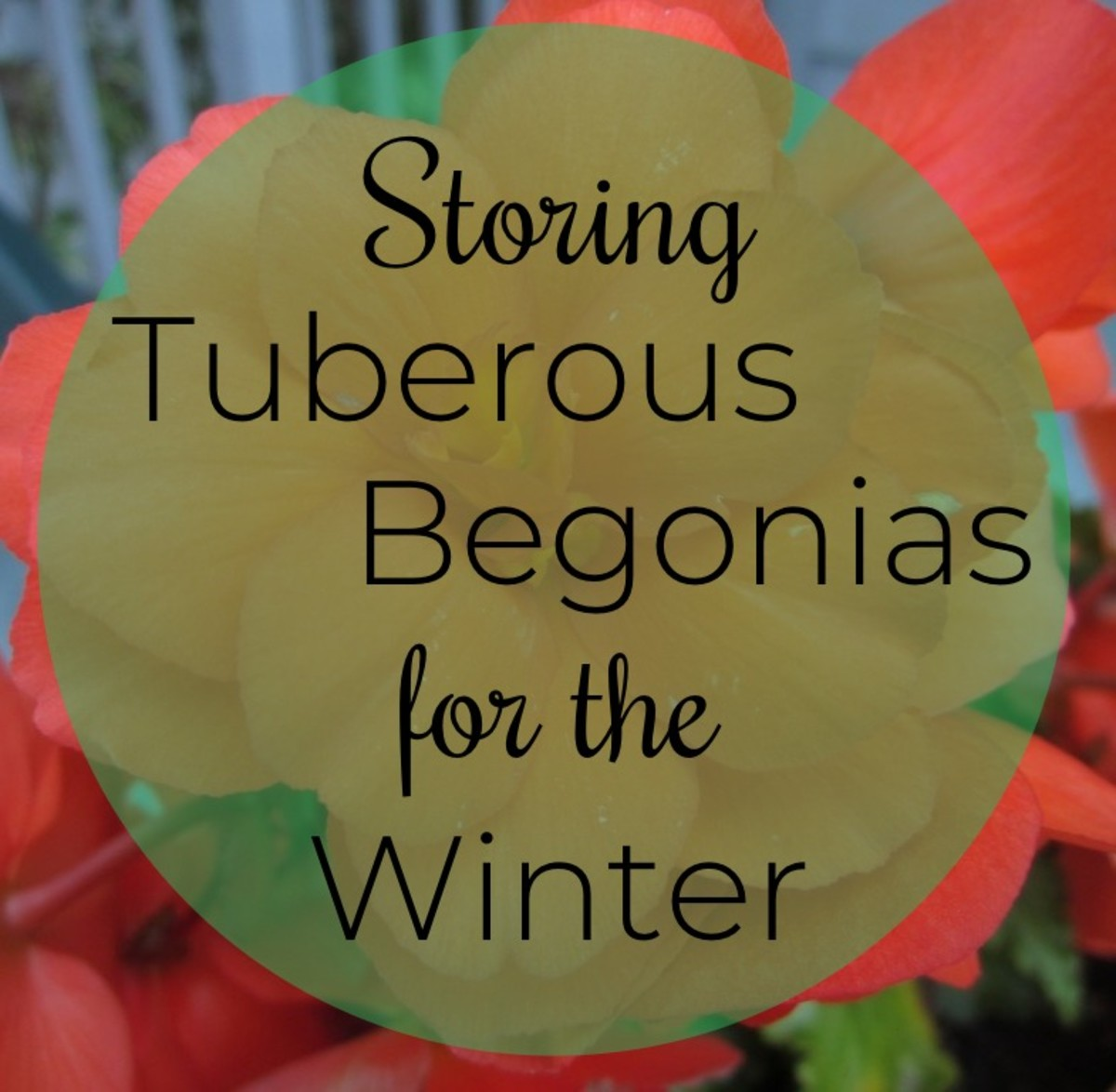 How to Store Tuberous Begonias for Winter and Restart Them in Spring