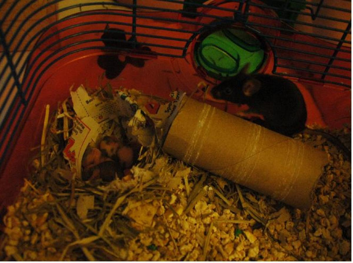 What to do when your Pet Mouse has Babies