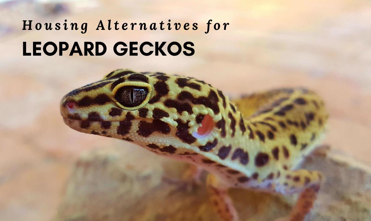 Consider an alternative housing setup for your Leopard Gecko.