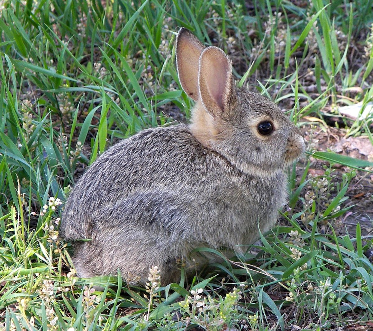 rabbit in montana - How To Keep Rabbits Out Of Garden